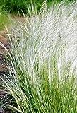 Palmenmann Zartes Federgras (Engelshaargras) - Stipa tenuifolia Ponytails