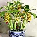 KEPTEI Garten Seltene Mini Banane Samen - 10/20/30/50/100 Stücke/Pack - Bonsai Bananen Baum Samen - Mini Obst Bonsai - Bonsai geeignet von KEPTEI auf Du und dein Garten