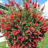Vendita piante online siepi e cespugli for Cespugli giardino
