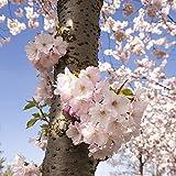 Pixblick - Japanische Zierkische im Frühling - Hochwertiges Wandbild - Acrylglas 30 x 30 cm