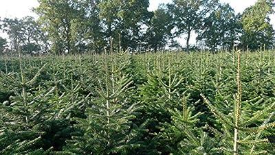 Echter Premium Weihnachtsbaum Nordmanntanne Tannenbaum Christbaum frisch geschlagen 1. Wahl in verschiedenen Größen lieferbar von pille-baumschulen auf Du und dein Garten