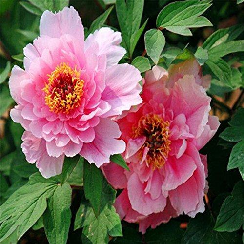 5 pièces / sac graines de pivoine, jaune, graines de fleurs de pivoine rose chinoise belles graines de bonsaï plantes en pot pour le jardin de la maison 2