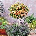 Hochstämmige Meillandina Rose zweifarbig - 1 rose von Meingartenshop auf Du und dein Garten
