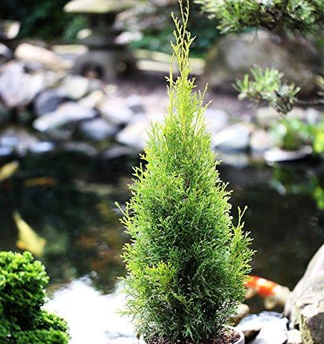 Lebensbaum Langsam wachsend (20 bis 30 cm)