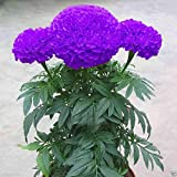 #8: Catterpillar Farm Purple Blue Marigold 50 Seeds