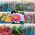 Teichpflanzen Sortiment, 50 Pflanzen. Schwimmpflanzen, Uferpflanzen, Seerose von MiNaBella Aquaristik auf Du und dein Garten