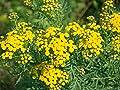 Rainfarn Tanacetum vulgare 100 Samen von Dixis Samen - Du und dein Garten