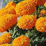 Home Garden Best Deals - Flower Seeds Marigold Seeds Indian Flower Seeds For Home Garden-100 Seeds by Creative Farmer