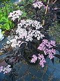 schwarzlaubiger Holunder Sambucus nigra Black Lace 80 - 100 cm hoch im 5 Liter Pflanzcontainer