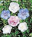 BALDUR-Garten Winterhart Gefüllter Hibiskus Chiffon weiß 1 Pflanze Hibiscus syriacus von Baldur-Garten bei Du und dein Garten