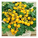 Balkontomate - Buschtomate - gelbe Cherry - Windowbox yellow - 20 Samen