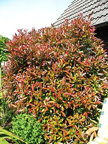 immergrüne Glanzmispel Solitär Photinia fraseri Red Robin 150-175 cm hoch im 25 Liter Pflanzcontainer