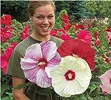 TaoNaisi 100 Gigantes Semillas de Flores de Hibisco Hardy, Color de la Mezcla, Jardín de DIY en maceta o planta de la flor del jardín, Envío Gratis