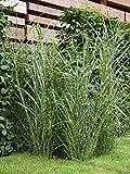 Miscanthus sinensis Zebrinus (Garten-Zebraschilfgras) 5-50cm / 3l-Container (Stauden, Gräser und...
