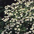Kräutersamen - Mutterkraut - 2000 Samen von Nuts n' Cones auf Du und dein Garten