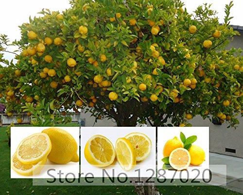 20 rare semi di albero di limone deliziosi semi di alberi da frutto per la casa giardino semina tasso di sopravvivenza ad alta (95% +)