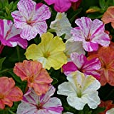 Kings Seeds - Mirabilis - Jalapa Marbles Mixed - 40 Seeds