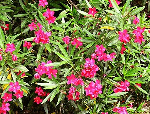 10 Samen Nerium oleander, Oleander, Rosenlorbeer, aus Indien Himalayagebiet