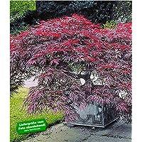 BALDUR-Garten Japanischer Ahorn 'Burgund', 1 Pflanze Acer palmatum Ahornbaum rote Blätter winterhart