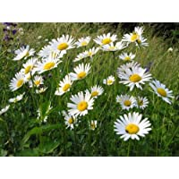 6,000 Seeds Oxeye Daisy Wildflower Seeds Cottage Garden OX Eye Daisy HP 2g Seed by Pretty Wild Seeds