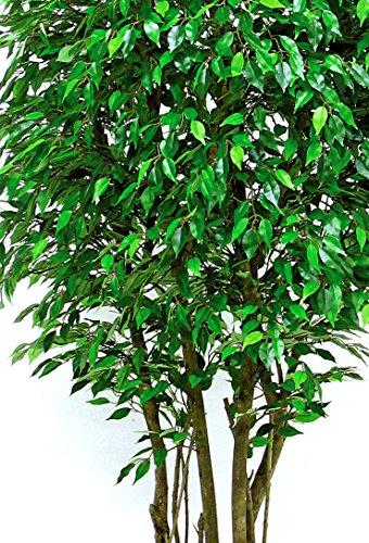 Ficus Wald Grün–Baum-Möbel Innenraum mit echten Baumstämme–Hoch 150cm