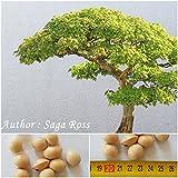 Ginkgo biloba - Samen - frosthart bis - 30 C° - Bonsai !! (5)