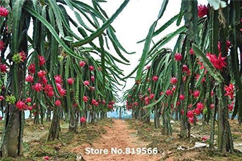 Chinese Red Dragon Fruit Samen 200pcs Pitaya Sementes Hause Bonsai Hylocereus undulatus Britt Gartenbaum Outdoor Pflanzen Verkauf