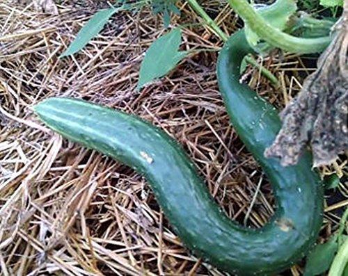 PLAT FIRM GRAINES DE GERMINATION: 50 - Graines: Graines de concombre de serpent chinois De hauts rendements de concombres vert foncé de 15\
