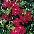 Gärtner Pötschke Clematis Roter Kardinal von Gärtner Pötschke auf Du und dein Garten
