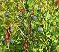 Schwarzbeere Wild-Heidelbeere 30+ Samen Absolut von Samenchilishop auf Du und dein Garten