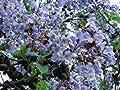 Paulownia Shan Tong Blauglockenbaum 70 cm Höhe Enormer Wuchs bis 2 Meter pro Jahr Frosthart bis -23 Grad Orchideenartige Blüten von Lifestyle-Hamburg bei Du und dein Garten