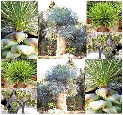 Shoopy Star Die schmutzigen Gardener Yucca Arten Mix, 15 Samen