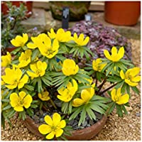 Woodland bulbs® 25 x English Woodland Aconite Bulbs 'Eranthis hyemalis' (In The Green) Spring Flowering Bulbs Ready To Plant (FREE UK P&P)