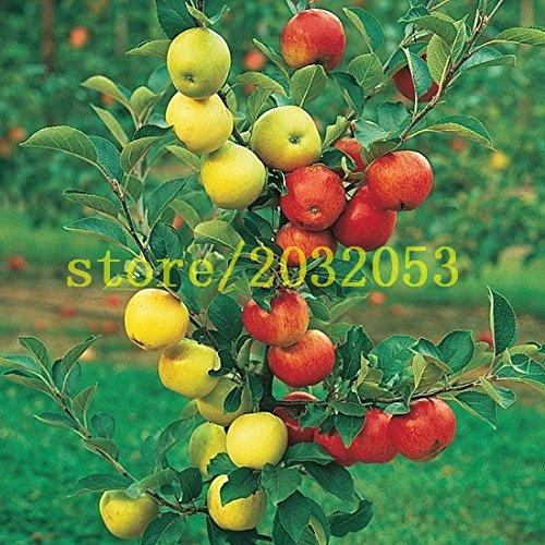 100 graines de pommier nain arbre bonsaï pomme graines MINI de fruits maison jardin plantation