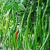 SaySure–Tasche Spicy Chili Pepper Samen 10Red Hot Gewürze Pflanzen