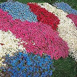 begorey Garten 100 Stück Steinkraut Königsteppich Blumen Samen Gänsekresse Arabis Samen Blumenmeer Pflanzen für Haus Garten (6)