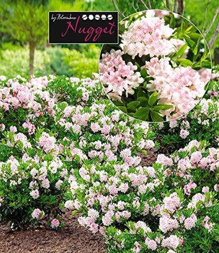 Rhododendron Für die Kübelbepflanzung