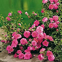 Rose Knirps® - Bodendeckerrose rosa Blüten - Kleinstrauchrose Pflanze Stark gefüllt Winterhart Halbschattig Mehltau-Resistent von Garten Schlüter - Pflanzen in Top Qualität