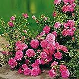 Rose Knirps - Bodendeckerrose rosa Blüten - Kleinstrauchrose Pflanze Stark gefüllt Winterhart Halbschattig Mehltau-Resistent von Garten Schlüter - Pflanzen in Top Qualität