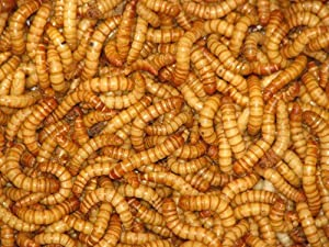 Mealworms Reptile Live Food 60g Tub 20-30mm by Reptile Livefoods