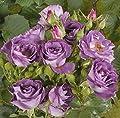 Beetrose 'Blue for You' (R) A-Qualität, Wurzelware von Rosen-Union - Du und dein Garten