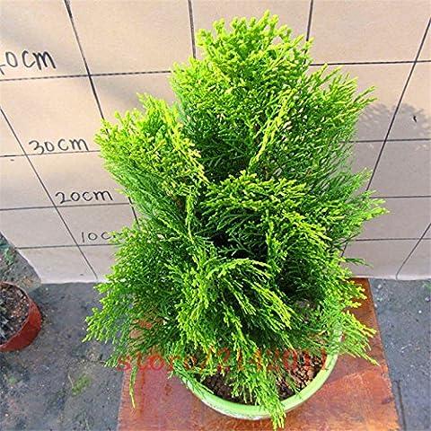 50 pc / sacchetto Semi di cipresso, cipresso italiano, semi di alberi bonsai, la crescita naturale della pianta interna o esterna per la semina giardino di casa