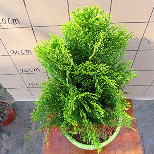 Venus Fly Piège Seeds, Dionaea, jardin Bonsai Plante carnivore plante décoration 30 pcs AA