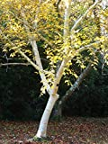1 Silver Birch Jacquemontii 5-6ft Tall In 2L Pot Stunning Tree, Himalyan White Birch, Betula 3fatpigs®