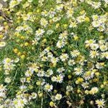 Herb Seeds - Chamomile Roman - 2500 Seeds