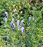 Eisenhut Bicolor - Aconitum napellus