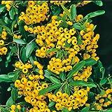Feuerdorn Soleil d'or Pyracantha Gelb – Immergrüne Pflanze als Sichtschutz-Hecke - Heckenpflanze/Kletterpflanze von Garten Schlüter - Pflanzen in Top Qualität