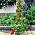 Yukio Samenhaus - Kletter-Erdbeere 'Hummi' lecker immertragend, voll durchwurzelt, Erdbeeren im Garten, auf Balkon & Terrasse wintehart von Yukio auf Du und dein Garten