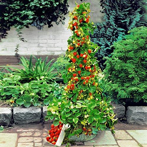 Ultrey Samenshop - Zuckersüss Kletter-Erdbeere Samen Immertragende Erdbeere aromantisch Frucht Obst Samen ertragreich mehrjährig winterhart für Garten Balkon/Terrasse (100 Stück)