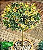BALDUR-Garten Immergrün Osmanthus-Stämmchen Duftblüte, 1 Pflanze Frühlingsduftblüte winterhart Zierstämmchen